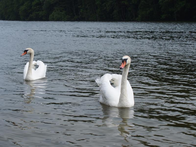 Duas cisnes brancas em um Polônia 2013 de Szczedin do lago fotografia de stock