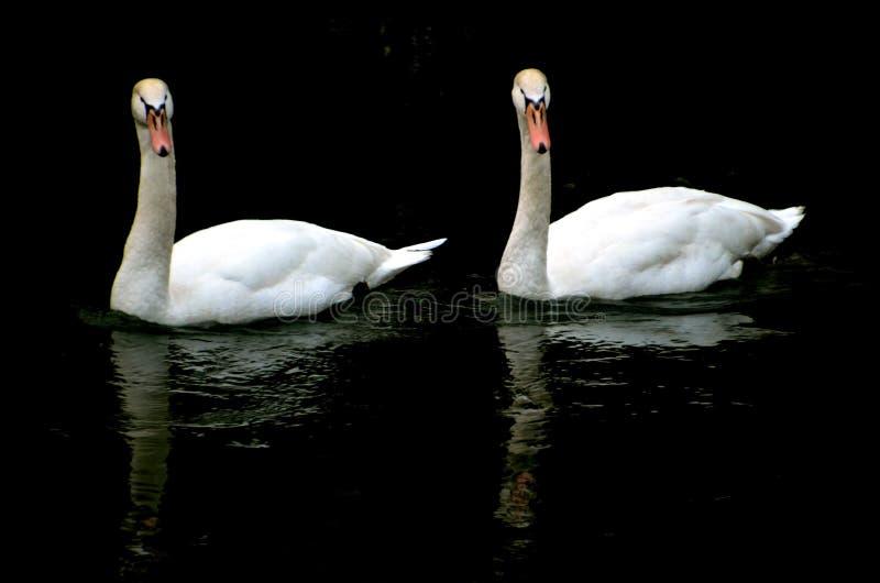 Duas cisnes brancas em uma lagoa fotos de stock