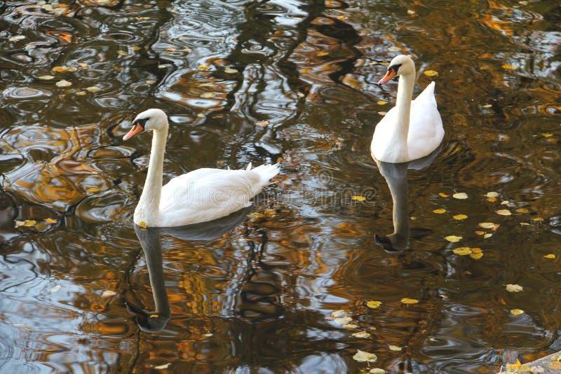 Duas cisnes brancas na água do outono imagens de stock