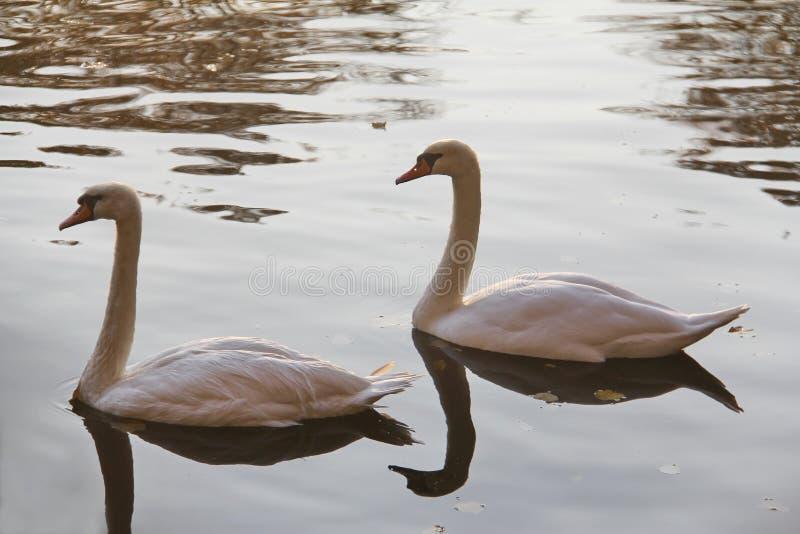 Duas cisnes brancas na água do outono fotos de stock