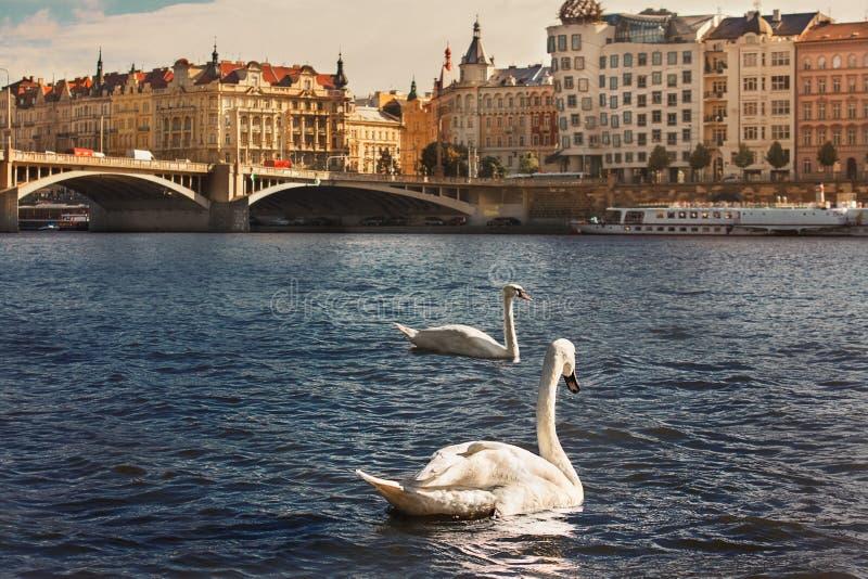Duas cisnes brancas no rio Vltava fotografia de stock