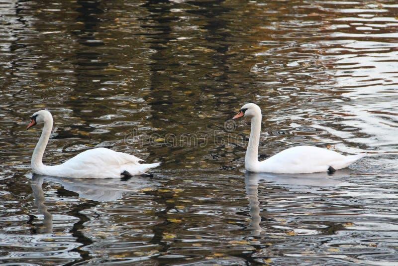 Duas cisnes brancas que flutuam na água foto de stock royalty free