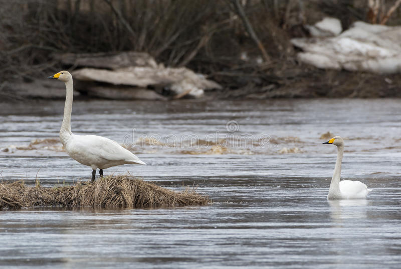 Duas cisnes de whooper (cygnus do Cygnus) fotos de stock royalty free