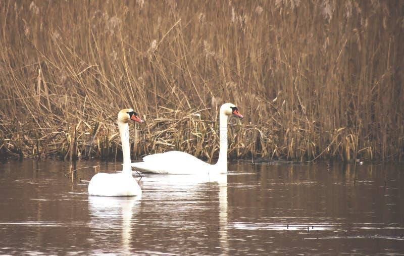 Duas cisnes mudas brancas (olor do Cygnus) fotografia de stock royalty free