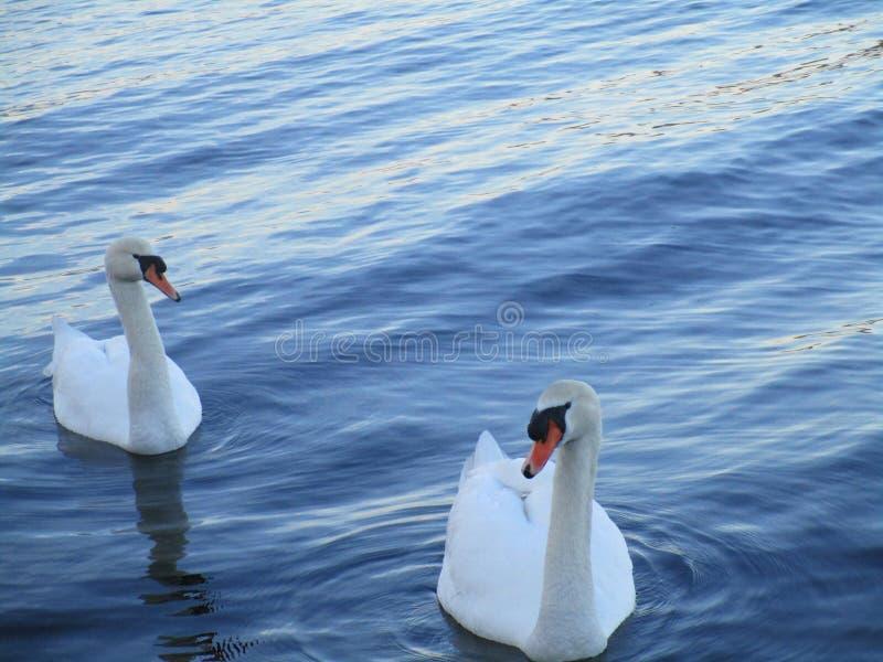Duas cisnes no lago imagem de stock royalty free