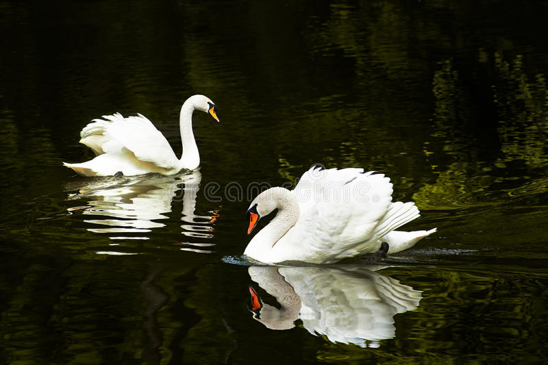 Duas cisnes no lago fotos de stock royalty free