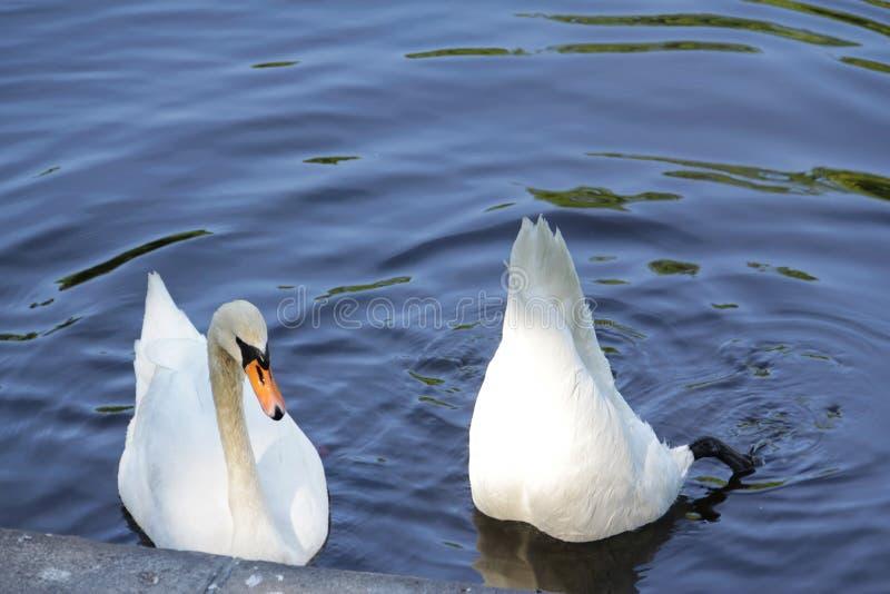 Duas cisnes, uma abaixaram sua cabeça profundamente na água imagens de stock