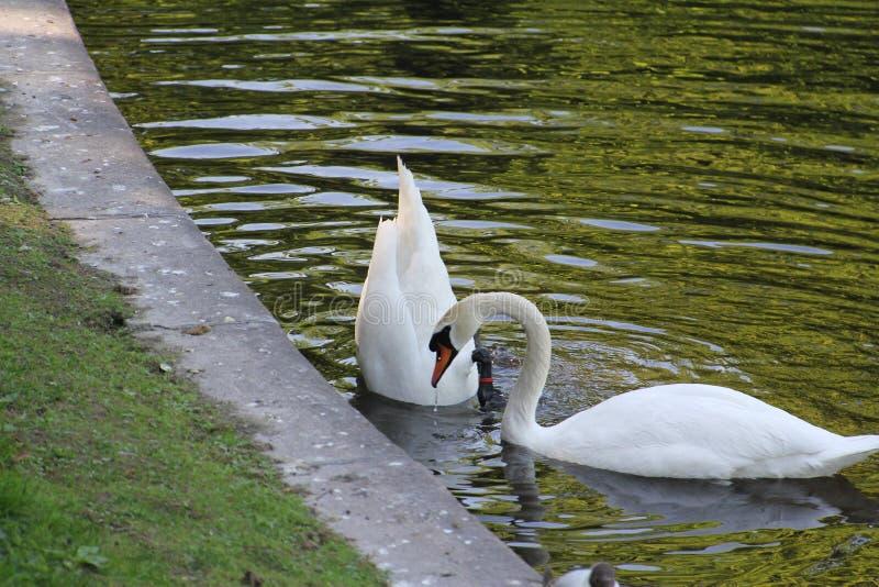 Duas cisnes, uma abaixaram sua cabeça profundamente na água foto de stock