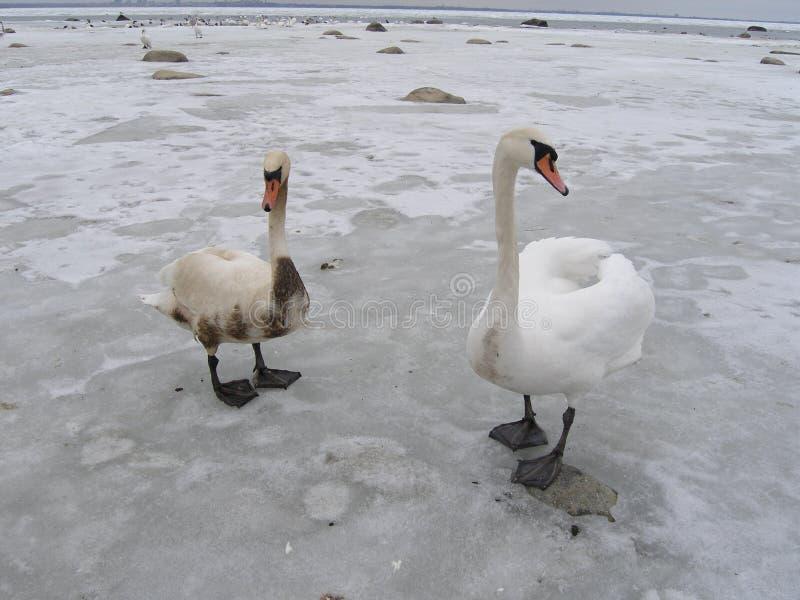 Duas cisnes, uma são cobertas com o petróleo foto de stock royalty free