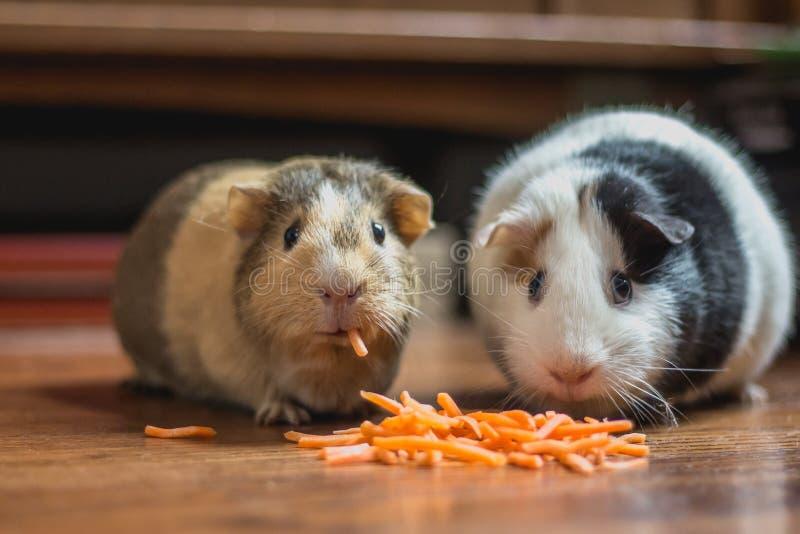 Duas cobaias que comem bocados da cenoura no assoalho de madeira com o um que olha a câmera foto de stock