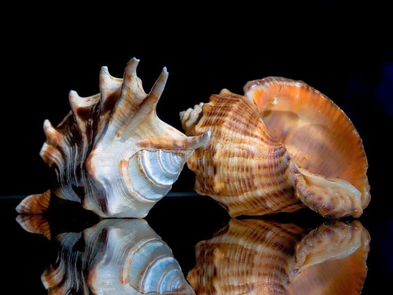 Duas conchas do mar Brown e branco na tabela de vidro imagem de stock