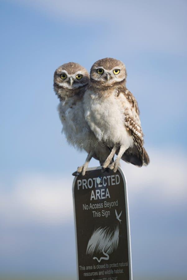 Duas corujas burrowing juvenis novas empoleiradas sobre um sinal da área protegida imagem de stock royalty free