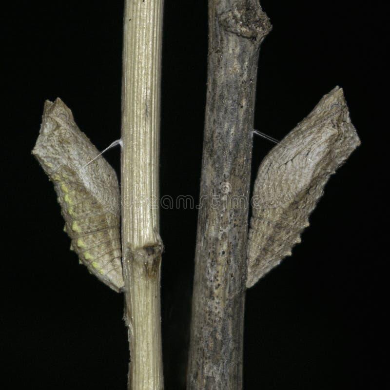 Duas crisálidas da borboleta de Swallowtail em varas secas imagem de stock royalty free