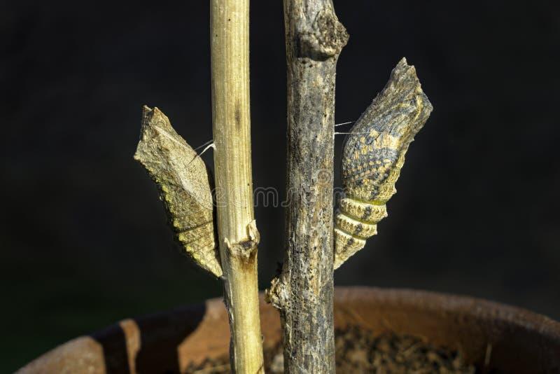 Duas crisálidas de Swallowtail, uma aproximadamente a emergir como uma borboleta imagem de stock