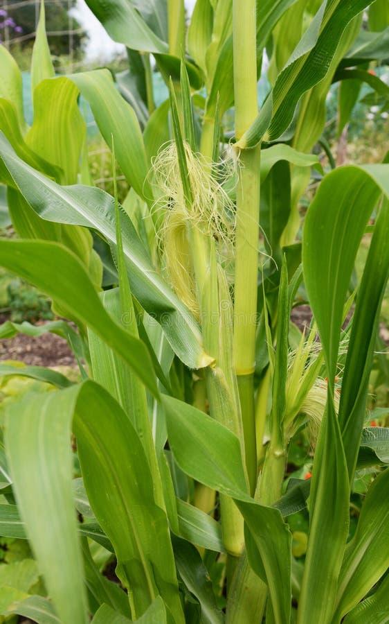 Duas espigas de milho que crescem em uma planta do sweetcorn da festa imagens de stock royalty free