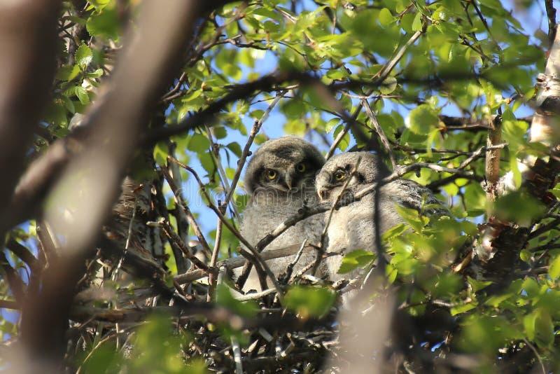 Duas Falcão-corujas do norte (ulula do Surnia) que sentam-se no ninho fotografia de stock royalty free