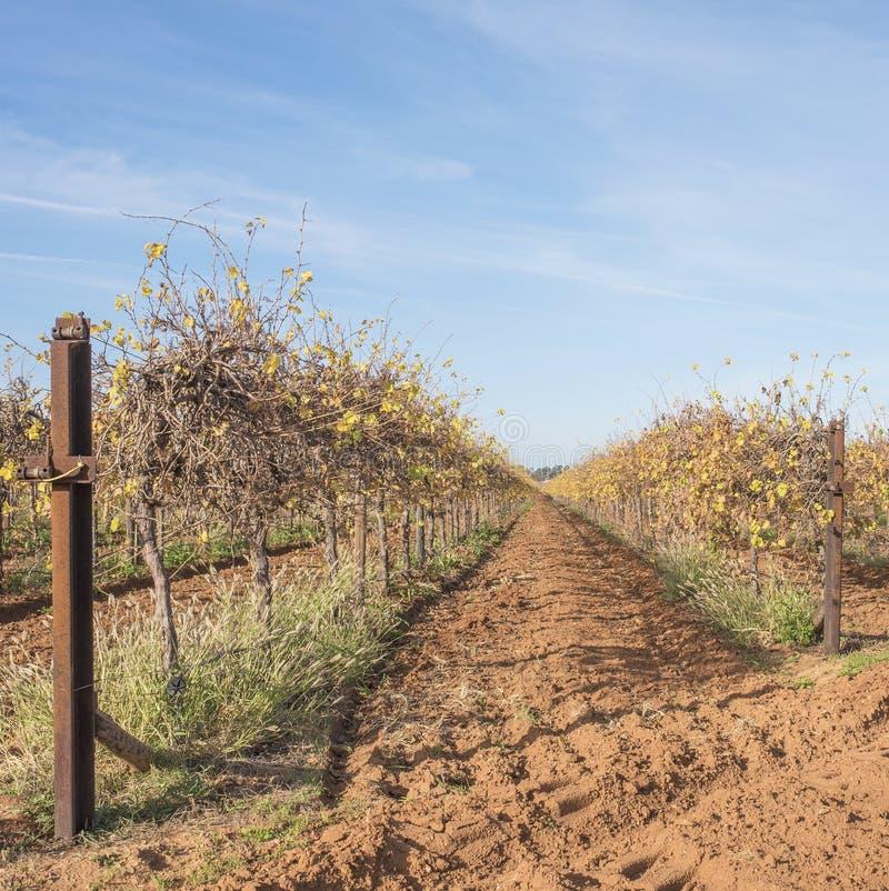 Duas fileiras de vinhas no outono fotos de stock