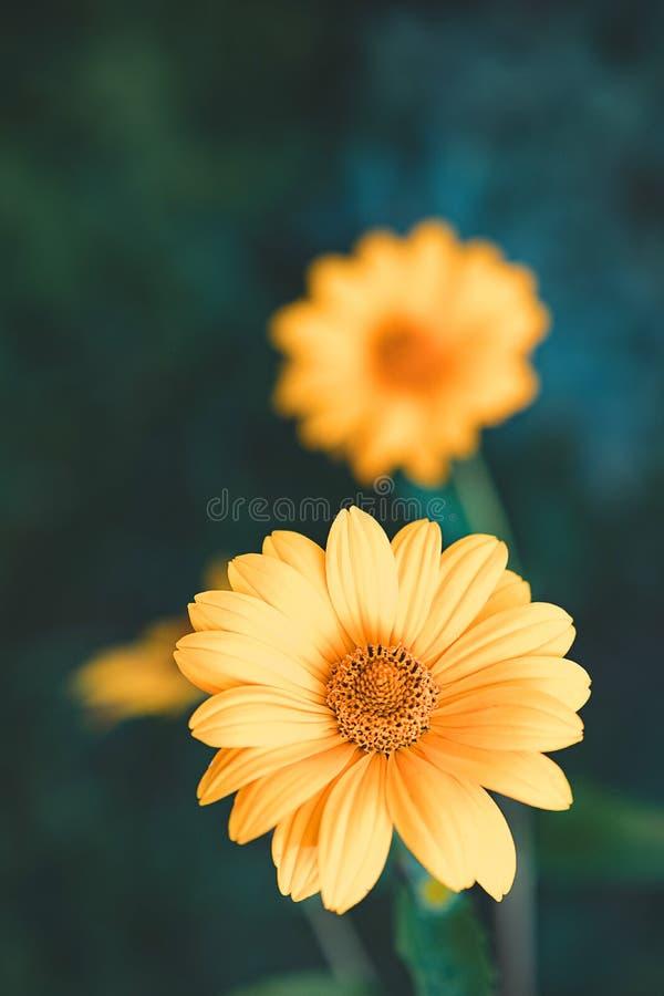 Duas flores amarelas no ar livre selvagem, flor dianteira no foco fotografia de stock