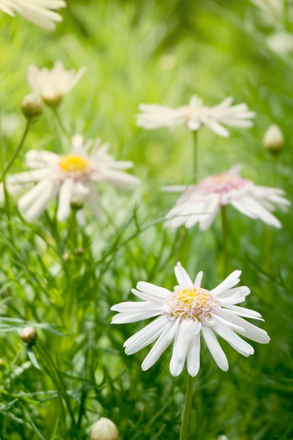 Duas flores bonitas da margarida branca com folhas verdes colocam no jardim, luz brilhante do dia coneflower de florescência natu imagem de stock