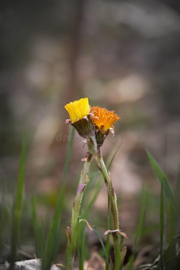 Duas flores coloridas do coltsfoot na mola imagens de stock