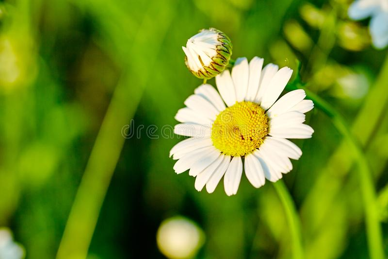 Duas flores da camomila no prado Close-up Foto para fundos, desktop, tampa foto de stock