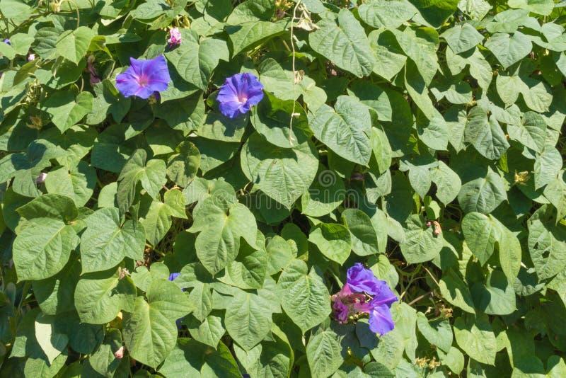 Duas flores da corriola na flor fotografia de stock royalty free