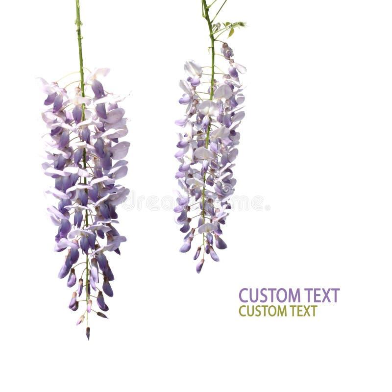 Duas flores das glicínias imagens de stock royalty free