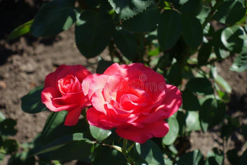 Duas flores de rosas cor-de-rosa dos salmões fotografia de stock
