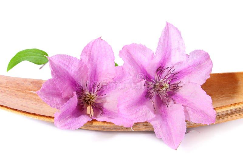 Duas flores do clematis fotografia de stock royalty free