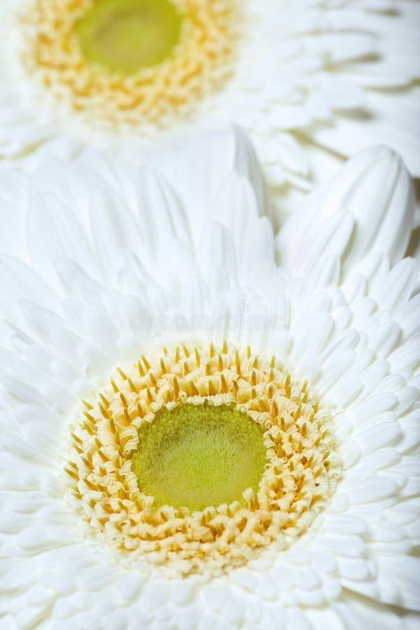 Duas flores do crisântemo imagens de stock