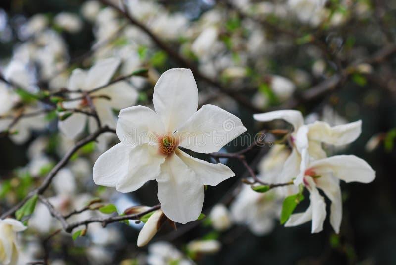 Duas flores do Magnolia imagem de stock royalty free