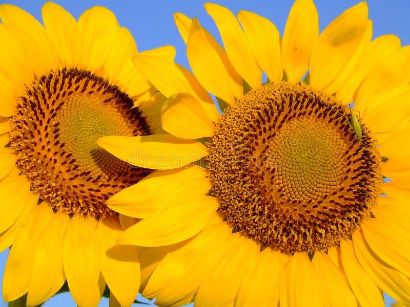 Duas flores e um erro fotografia de stock royalty free