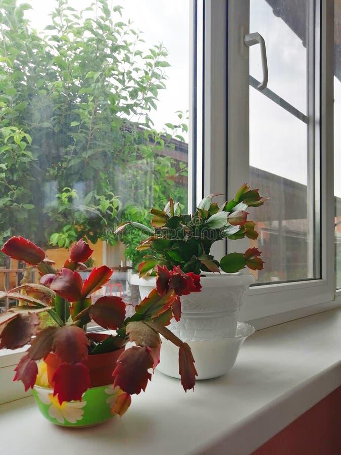 Duas flores em um potenciômetro na soleira imagem de stock royalty free