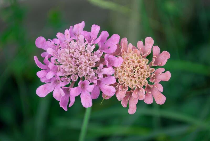 Duas flores roxas, abraçam-se delicadamente na primavera imagem de stock royalty free