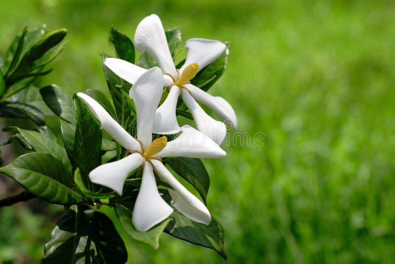 Duas flores tropicais de encontro à grama fotografia de stock royalty free