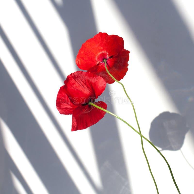 Duas flores vermelhas da papoila no fundo branco com luz do sol do contraste e as sombras fecham-se acima foto de stock royalty free