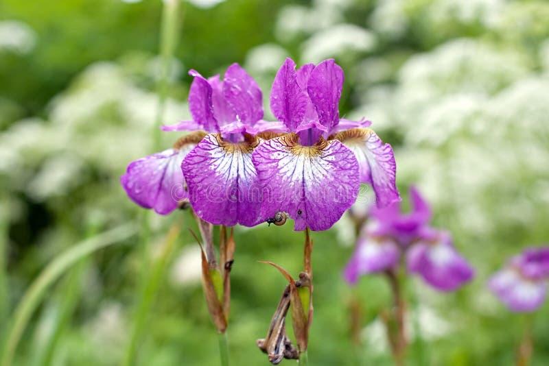 Duas flores violetas da íris imagens de stock royalty free