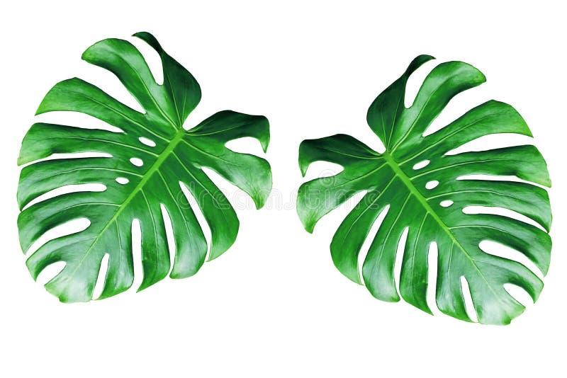 Duas folhas do monstera isoladas no fundo branco imagens de stock