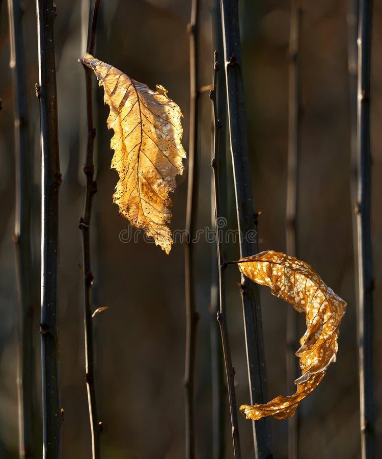 Duas folhas douradas secas fotografia de stock royalty free