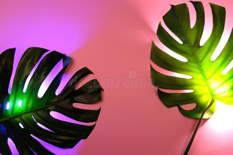 Duas folhas verdes do monstera no fundo cor-de-rosa com o luminoso de néon criativo fotografia de stock royalty free