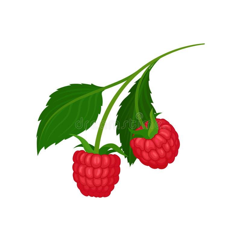 Duas framboesas suculentas que penduram no ramo com folhas verdes Alimento natural Baga deliciosa do verão Ícone liso do vetor ilustração royalty free