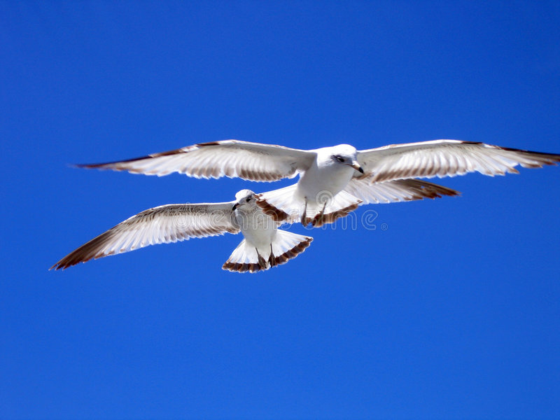 Duas gaivotas foto de stock