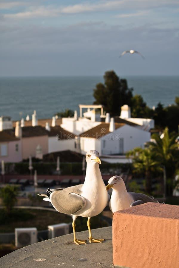 Duas gaivotas bonitos na costa que pedem o alimento no terraço do hotel imagem de stock