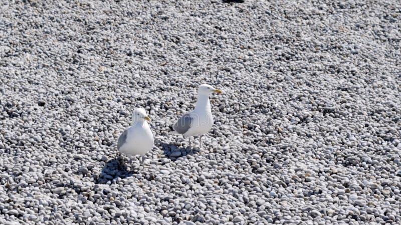 Duas gaivotas brancas que sentam-se na praia de pedra a??o Gaivotas bonitas que descansam na praia com seixos brancos P?ssaros do imagens de stock
