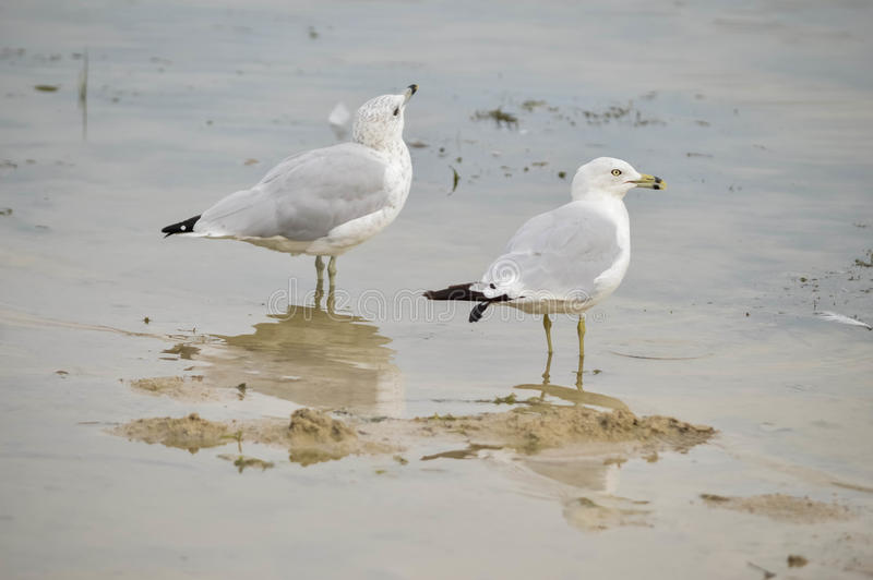 Duas gaivotas no lago imagens de stock royalty free