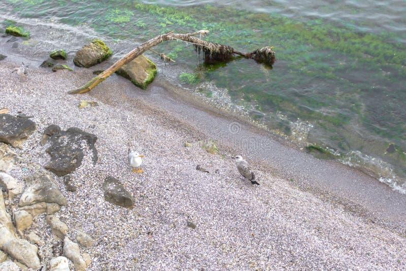 Duas gaivotas no Sandy Beach fotos de stock royalty free