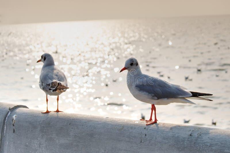 Duas gaivotas que estão junto no por do sol imagens de stock royalty free