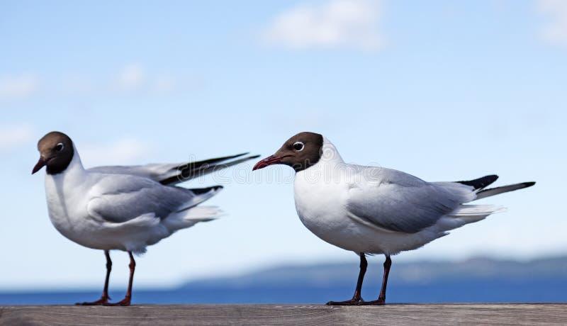 Duas gaivotas que sentam-se em uns trilhos de madeira foto de stock