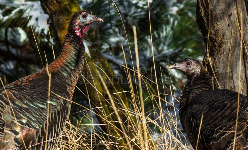 Duas galinhas de turquia selvagens em novembro fotografia de stock