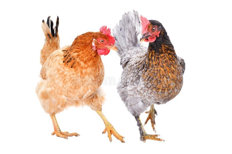 Duas galinhas junto fotos de stock royalty free